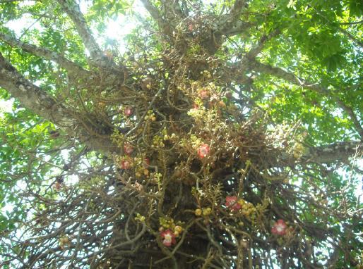 Lihatlah sulur batang yang keluar digantungi bunga dan buahnya...