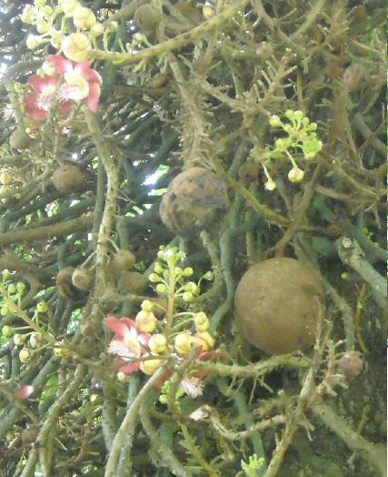 Ini lho buahnya... makanya disebut canonball.