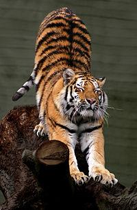 harimau merupakan karnivora