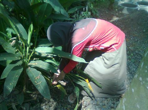 Mencabut tanaman heliconia...satu... dua... tiga...!!!