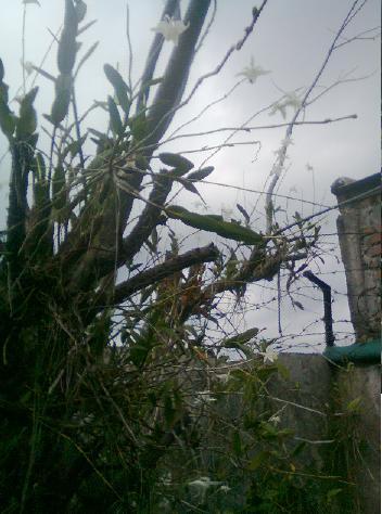 Tanaman anggrek merpati di batang pohon.