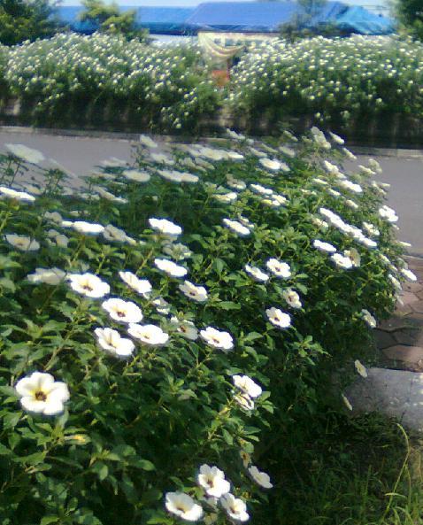 Bunga cantik penghias trotoar jalan di Purbalingga