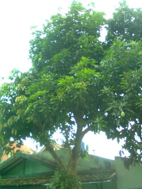 Pohon mangga yang telah dipangkas