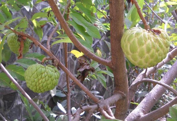 Pohon srikaya berbuah lebat.